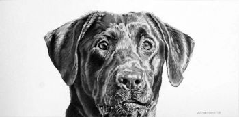 Graphite drawing of a labrador retriever