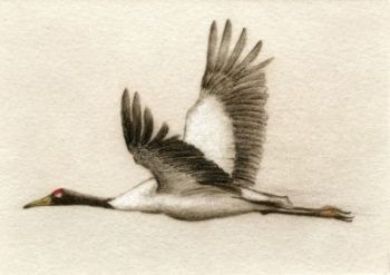 Etching of Black-Necked Crane by Melanie Fain
