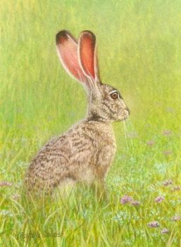Black-tailed Jack Rabbit by Rachelle Siegrist