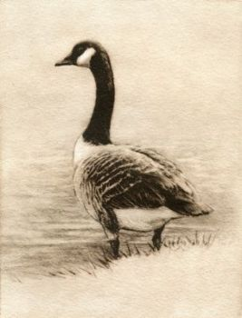 Etching of Canadian Goose by Melanie Fain