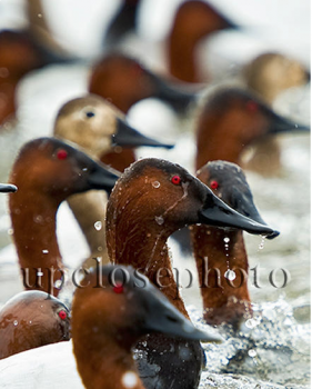 Canvasback Heads is an original photo of Canvasback Ducks by Mark Atwater