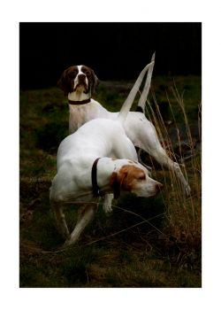 Last of the Line is a photo of Elhew English Pointers by Nancy Whitehead