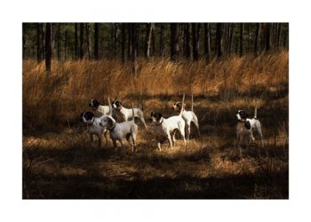 The Magnificent Seven is a photo of English Pointers by Nancy Whitehead