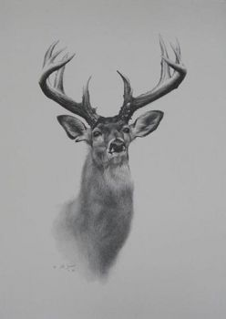 A Whitetail Deer Print from the graphite by Cole Johnson