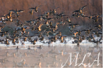Incoming is a photo by Mark Atwater of incoming, landing ducks