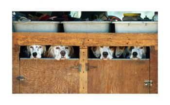 Waiting is a photo of setters waiting for a field trial by Nancy Whitehead
