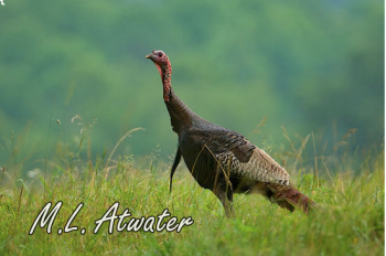 Spring Turkey is a photo of a wild turkey by Mark Atwater